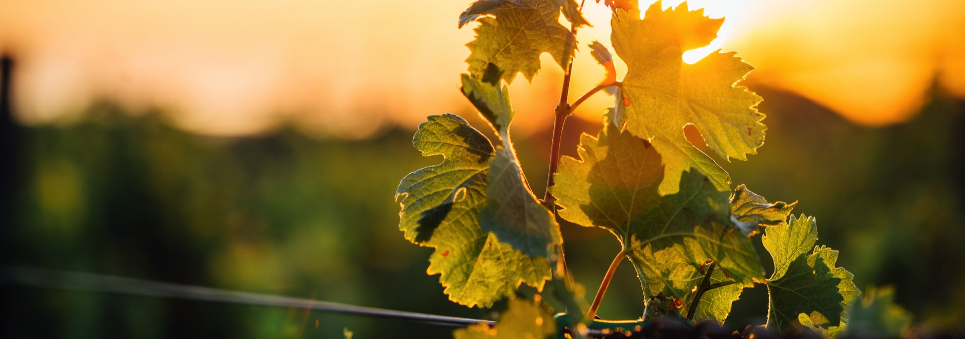 Effervescence of the grape harvest at Alfred